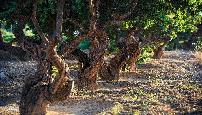 mastic-tree-emmanuel-panagiotakis