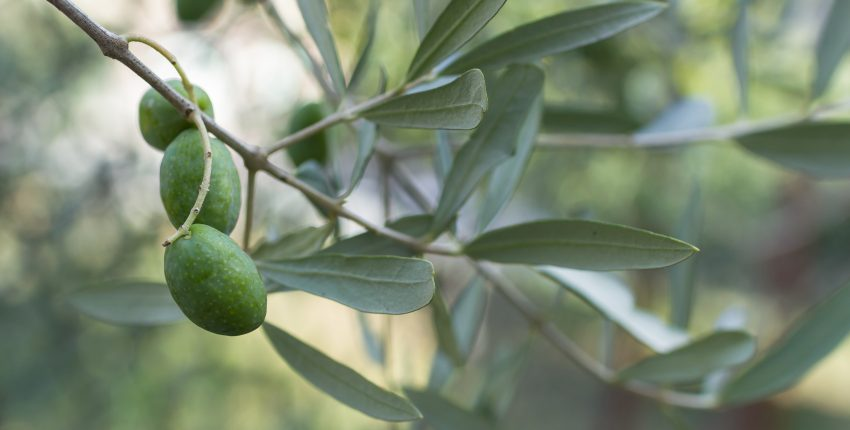 Extreme close-up of an olive branch with three olives